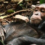 In the forests of Uganda, chimpanzees play with dolls https://t.co/7ndHB0gJnZ https://t.co/BHrmVoZ7Y4