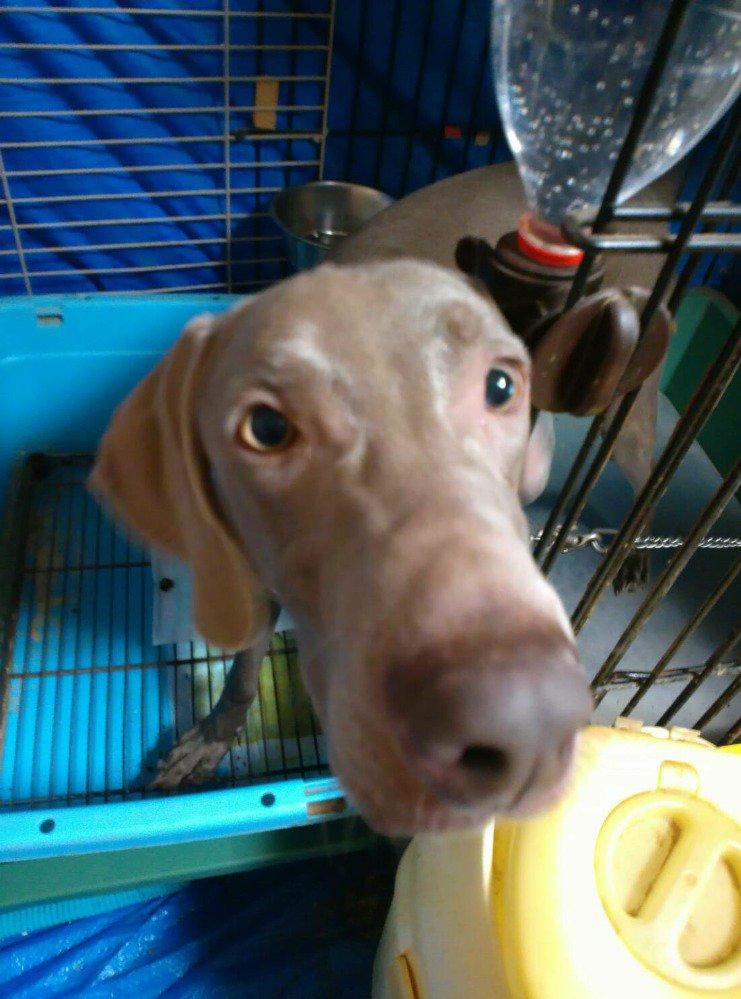 迷子犬捜してます!本日午前中、ワイマラナー(ラブラドール位) ♂が新潟市東区で首輪から抜けてしまいました。東区役所近辺で目撃情報ありましたが、捕獲には至らず。友人代理で捜してます #迷子犬 #新潟市 https://t.co/siYSdf4bgs