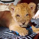 Gooooooood Morning and Happy Saturday from our new African lion cub <3 https://t.co/cMNovB3DQl