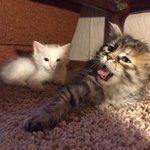 Отдаю даром 2-их котят, белая и полосатик. Котикам 2 месяца, здоровые. Едят сухой корм. Моют за собой сами. RT PLS https://t.co/lqGfMpt9lO