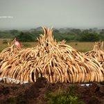 I dag brænder Kenya over 100 tons elfenben af - som led i kampen mod det modbydelige Krybskytteri i#WorthMoreAlive. https://t.co/E73LpeG0SF