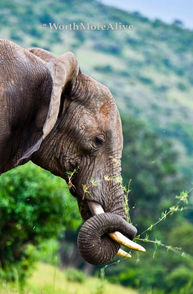 Great blessings come with great responsibilities . Let the tusks remain where they belong #StopTheTrade https://t.co/VWhkgpVU0N
