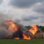 BREAKING: £150m of ivory is wiped off the planet in biggest ever ivory burn in #kenya #worthmorealive https://t.co/PUc7AwRFYc