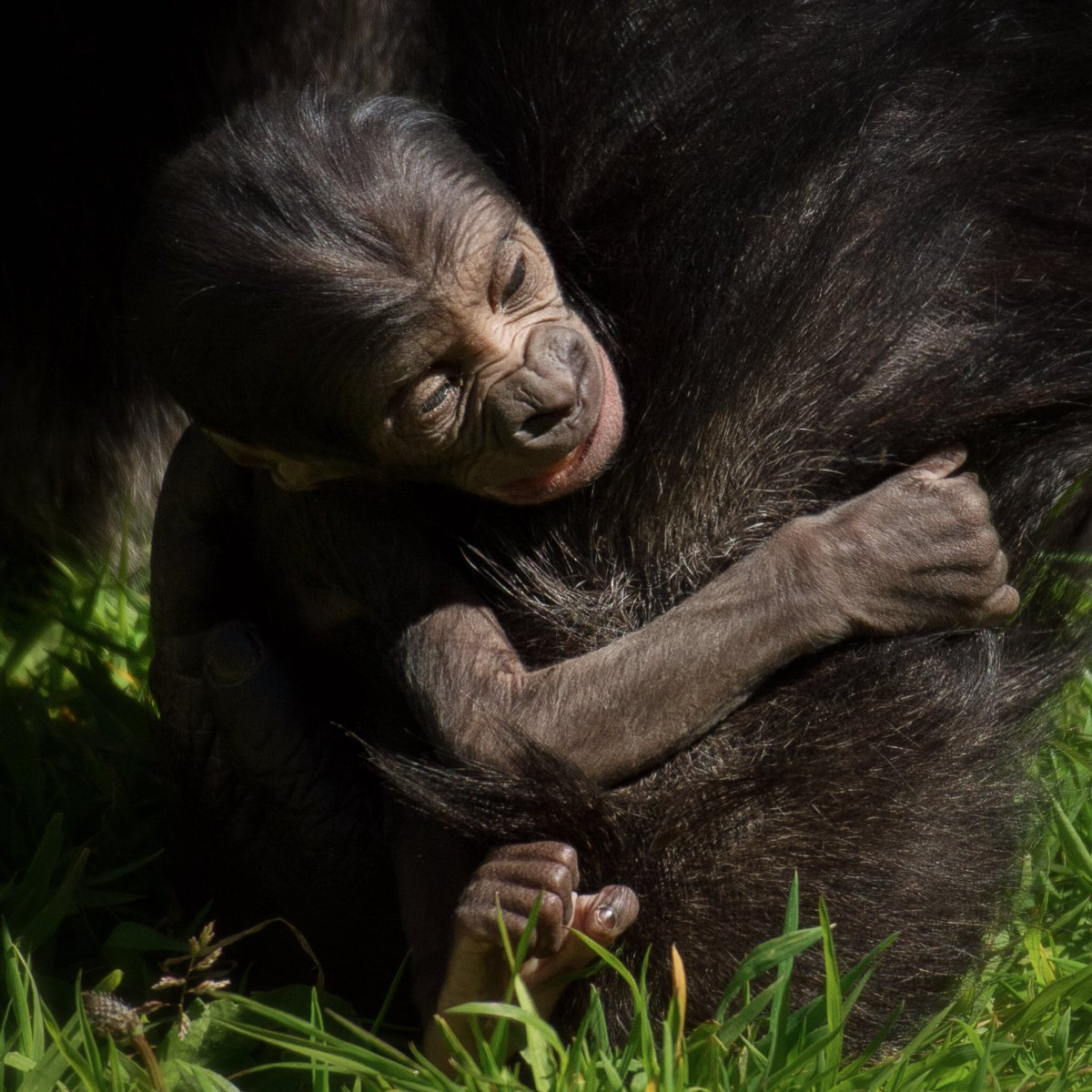 We're delighted to announce the birth of a western lowland gorilla here at Durrell Wildlife Park! https://t.co/LNIkQ3n20f