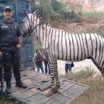 PM apreende cavalo pintado de zebra na RJ-085, na Baixada Fluminense (RJ) - https://t.co/GgtbNm6Umh #G1 https://t.co/ihpbCG1Rti