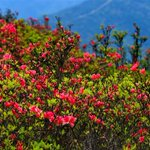 Rhododendron flowers covering mountain attract crowds in Fuzhou, southeast #Chinas Fujian Province, April 30. https://t.co/R0F7eqYG2m