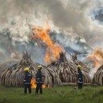 Kenya burns tons of ivory tusks to protest poaching https://t.co/iJ4ybSbMe2 https://t.co/R6StO7jms5