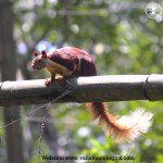 Malabar Giant Squirrel (शेकरू) State animal of Maharashtra | Endemic to Western Ghats @BhoomiPune #MaharashtraDay https://t.co/nE5sa12Gio