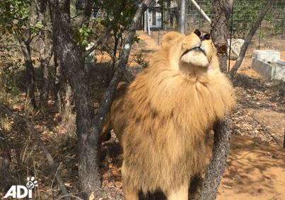 Iron is the first to be released! He's enjoying a satisfying rub against a tree! #33lions https://t.co/saoaOdVjMh https://t.co/nd0gAVkskv