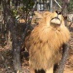 Los nueve leones rescatados en Santander ya están libres en el @EmoyaBigCats en Sudáfrica #Fotos: @AnimalDefenders https://t.co/kuHeZHPpka