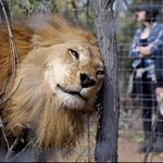 #TopBLU Ya están libres en Sudáfrica los 9 leones rescatados en Bucaramanga https://t.co/S5oDaxv14E https://t.co/HAGSn8TLQG
