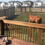 Welcome to the neigh-bourhood: horses ride out wildfires in Fort McMurray backyard https://t.co/tGoXlATZBD https://t.co/8v8X4hyWtg