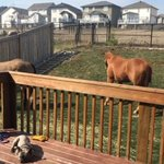 Crazy sight from Ft McMurray wildfires -People w. horses have been forced to store them in backyards -@HunterAtHome https://t.co/ZnCC1Y9Ttd