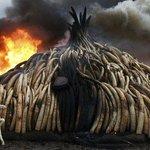 Braconnage : 105 tonnes d'ivoire brûlées auKenya https://t.co/5nIOYLim9V https://t.co/vRp46McUq1