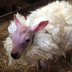Rejeitado pela mãe, bebê ovelha sem pelo ganha casaco de lã para se proteger do frio https://t.co/br0SarLqrs #G1 https://t.co/QMDcXspj43