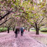 RT @NYCDailyPics Cherry blossoms at Brooklyn Botanic Garden by @javanng #newyork #nyc https://t.co/O8CBR9Ol7f