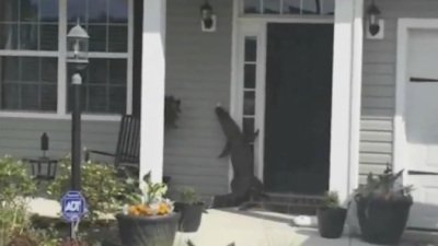 Alligator caught on camera ringing doorbell https://t.co/pYDe2p0VJq https://t.co/DeQE1rwheH