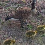 Delightful baby geese spotted at the reservoir walking path!  #unioncitynj #weehawken #westhoboken 🐣 https://t.co/FtydrdGYVA