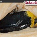 Muerte masiva de aves en Irapuato puede ser por contaminación: Ordenamiento Ambiental https://t.co/3ocPPgJhmj https://t.co/P1Seaq9MHY
