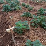 Mulching of strawberry have shown some significant effects on yield of strawberry #AgribusinessTalk254 @amiran_kenya https://t.co/nblqCAGkfn