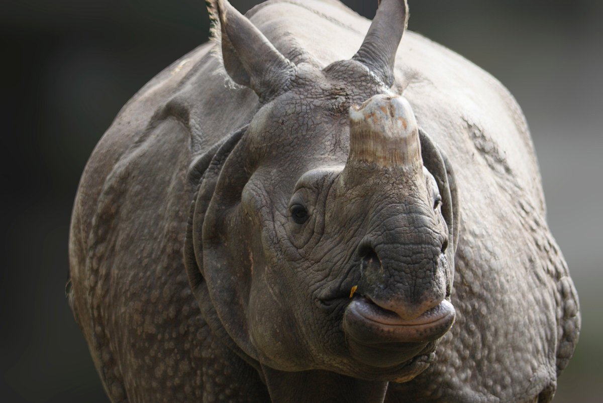 Today is #CincoDeRhino! AZA institutions are working together to help save this amazing species. #SavingSpecies https://t.co/1qAfgdzIH6