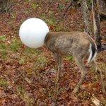Agente ajuda a salvar cervo que prendeu cabeça em globo de luz https://t.co/dRebR8oorx #G1 https://t.co/hpRcQKygm4