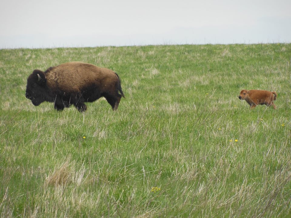 This baby bison is adorable! This calf & 4 others were born @ a wetland restored by the CDA: