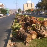 Los Olivos: talan decenas de palmeras de avenida principal https://t.co/MAHgkugS5L https://t.co/3o4YLRbfQk