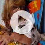 #Cairns woman's #TenderLovingCare for #FNQ #wildlife https://t.co/xI4oXhM4T4 https://t.co/DeYuHSgEl3