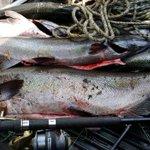 El documento que autorizó vertimiento de 9 mil toneladas de salmón descompuesto en el sur https://t.co/xVhkisCNfG https://t.co/HBKoF87pIu