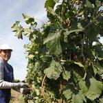 Россия лишилась более половины виноградников за 25 лет  https://t.co/1qSJ7fZhjB https://t.co/uUcJCqeZ7W