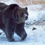 Matan a Scarface, el oso grizzly más famoso de Yellowstone https://t.co/RVSPbxYQ3B https://t.co/s1Bmlna74d