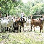 #Reportajes: El ganado se ha reducido a la mitad en Madriz, #Nicaragua >>> https://t.co/2rz8m3SFzw https://t.co/DplYaDC2Tl