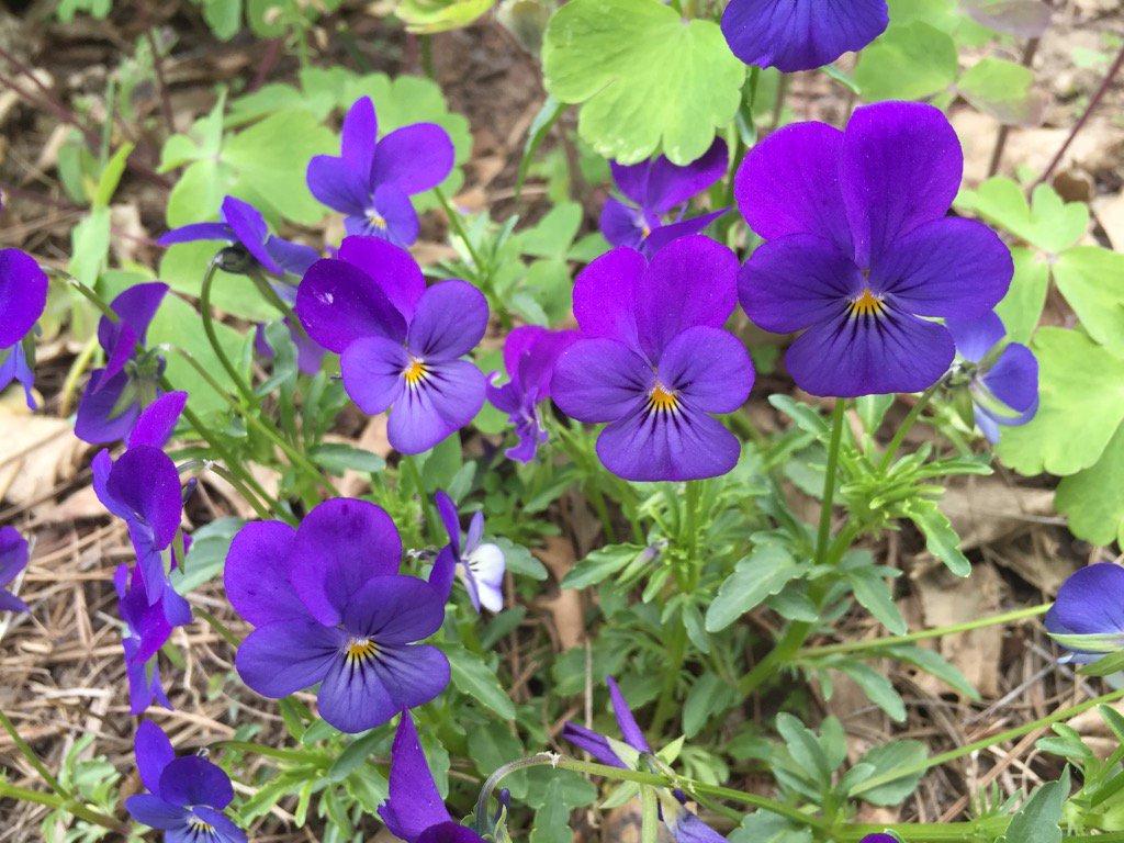 Violas looked almost fluorescent in my garden yesterday. https://t.co/7QkrRTb4kg