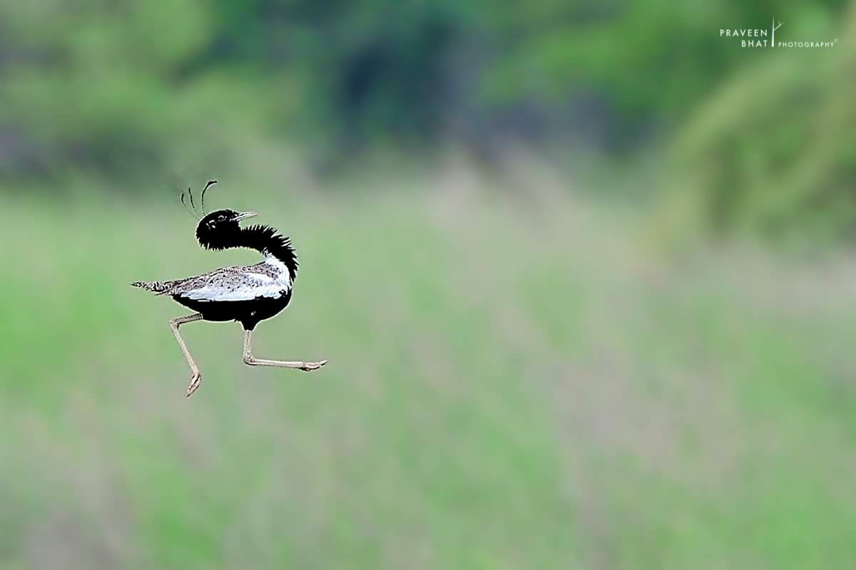 Fantastic shot of a Lesser Florican. Photograph - Praveen Bhat https://t.co/ihAfpqH0I1