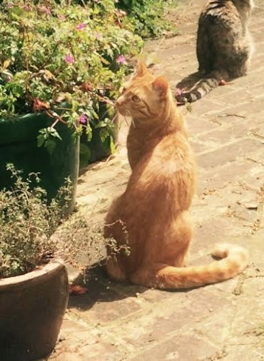 MISSING CAT. This ginger boy missing in E Dulwich (Lyndhurst Grove home). Contact corinna.silk@gmail.com Pls RT https://t.co/gYHrPa0YNh
