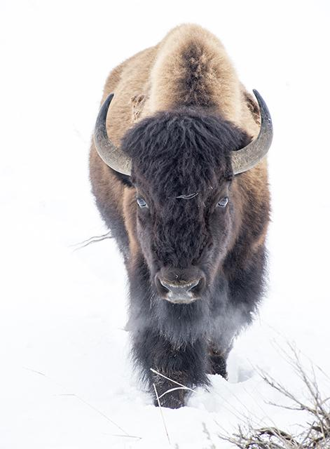 The bison is now, officially, the national mammal of the United States. @sejorg @NPCA  https://t.co/BZDUH7YdX8 https://t.co/Zm5NgWS8En