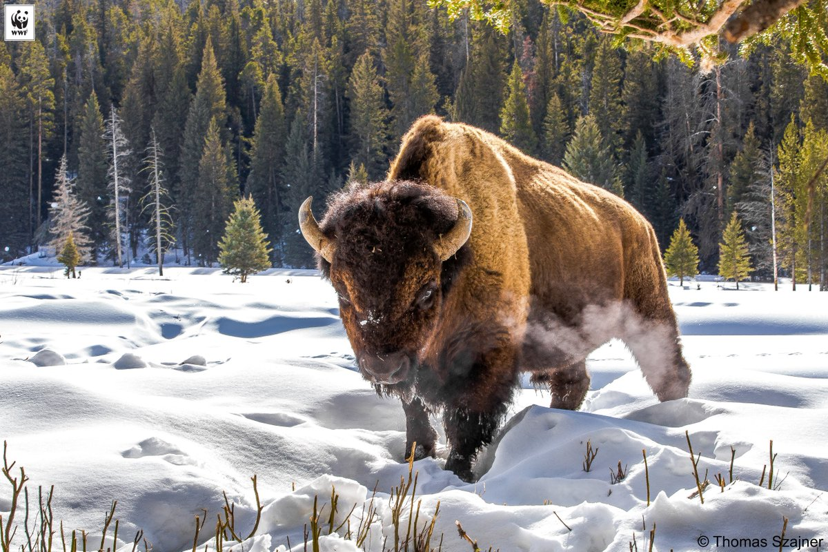 It's official! @POTUS signed the National Bison Legacy Act, making the American bison the official national mammal. https://t.co/QnKrjKbdXc