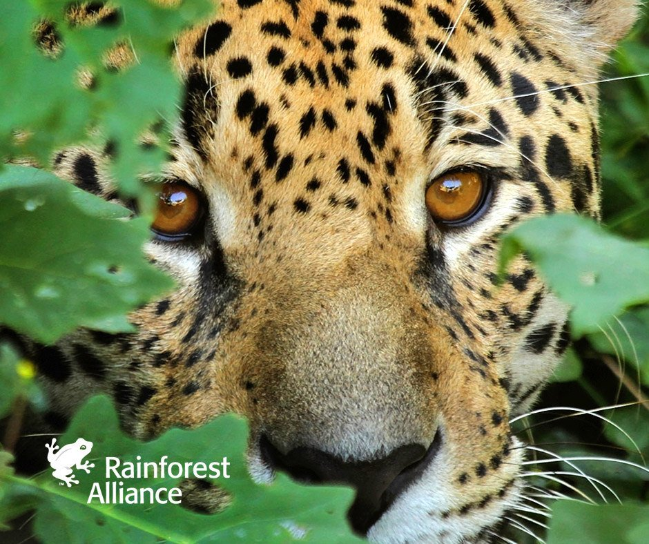 RT @RnfrstAlliance: We're working to halt deforestation to preserve the habitats of #jaguars and others: https://t.co/ubA7LHAtD4 https://t.…