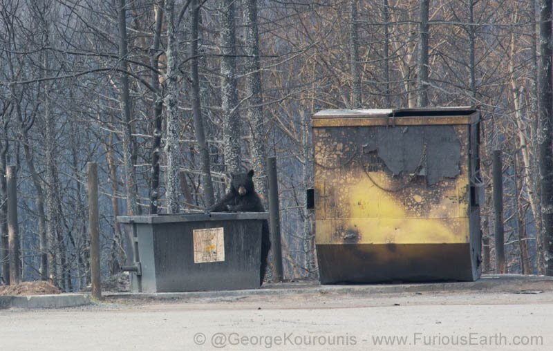 A black bear, prowling the abandoned streets of #FortMcMurray after the fire https://t.co/VlqWyLeMc0