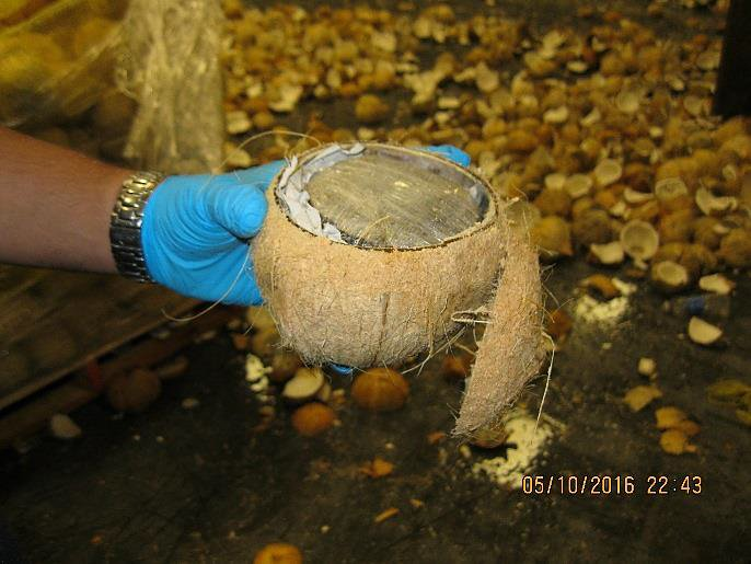 Smugglers put marijuana in the coconut instead of lime—#CBP officers seized 1,432lbs of it. https://t.co/8qBn7EZQu4 https://t.co/4r0RKNzcIU