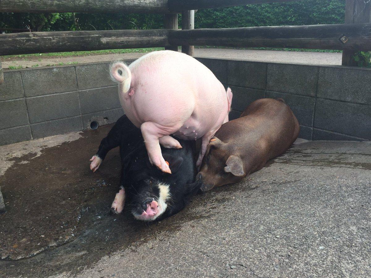おはようございます! ブタさんたちにとっては、すでに暑い夏なんです。体を冷やすために、凉しい水場の場所取りが繰り広げられています…(*^_^*) @saibokuham #pig #goodmorning https://t.co/rZoLmo7ulT