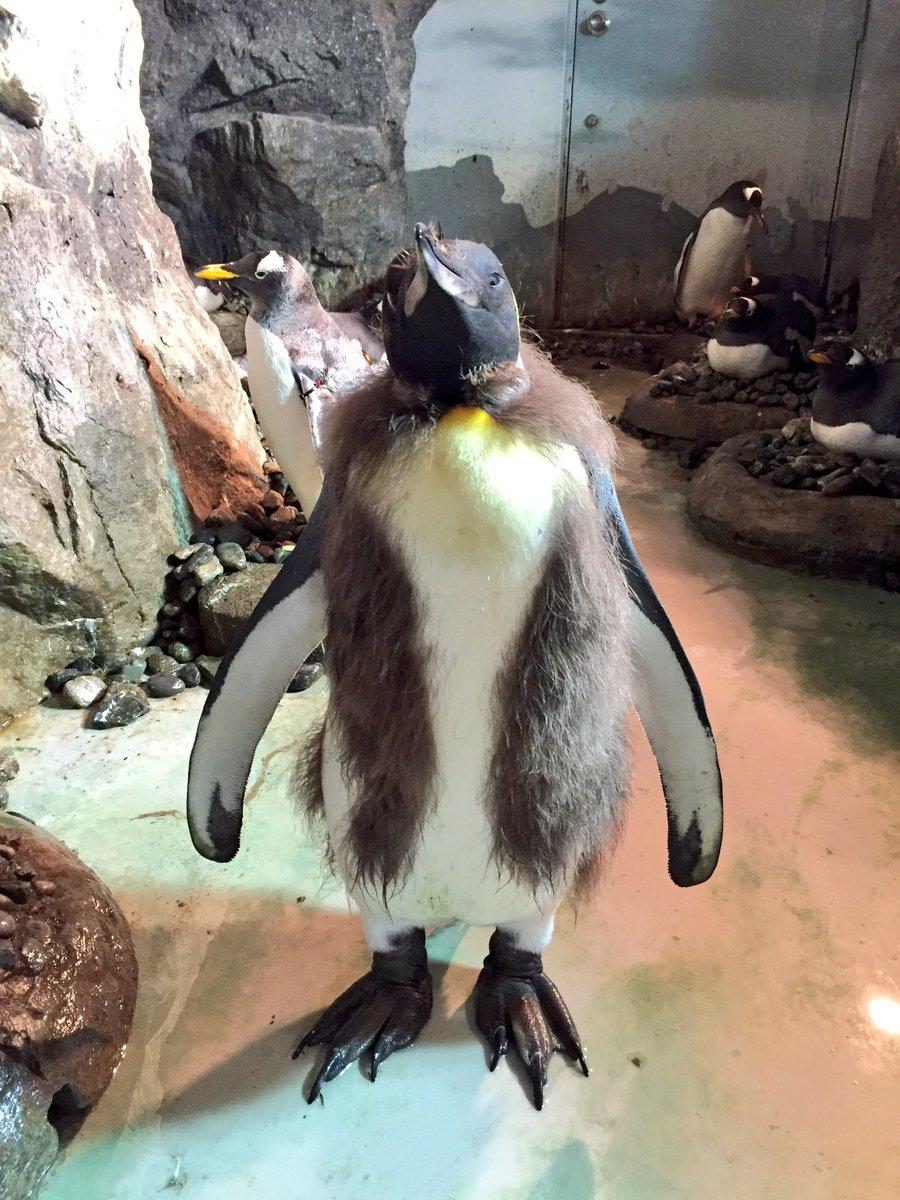 のんほいパーク。 昨年産まれたキングペンギンのあかちゃんですが、日々大人の姿と変化してきました。今は、ペンギンがベストを着ている感じです(⌒▽⌒)  #のんほいパーク #動物園 #豊橋 #ペンギン #キングペンギン https://t.co/GxpD7lOJ7Z