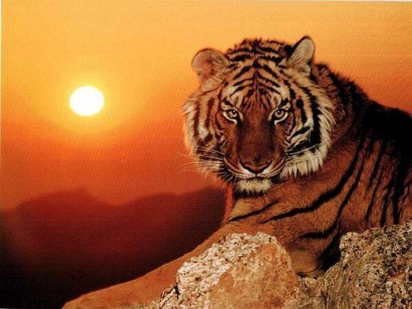 Un lindo atardecer con un Tigre. https://t.co/CgjoynjEyD