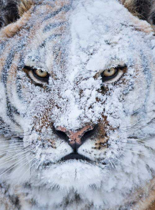 Tiger just after a snow fight... https://t.co/ZIbd8jPDFi