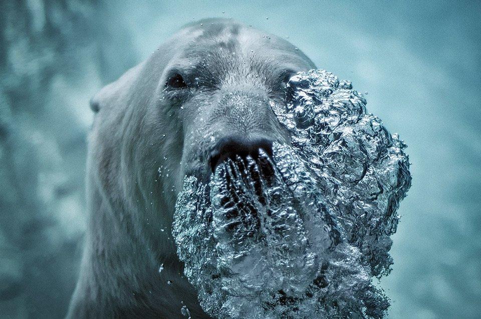 Polar# Bear Blowing Bubbles   Photography by ©Jeff Rumans https://t.co/q3RbQbrJDG
