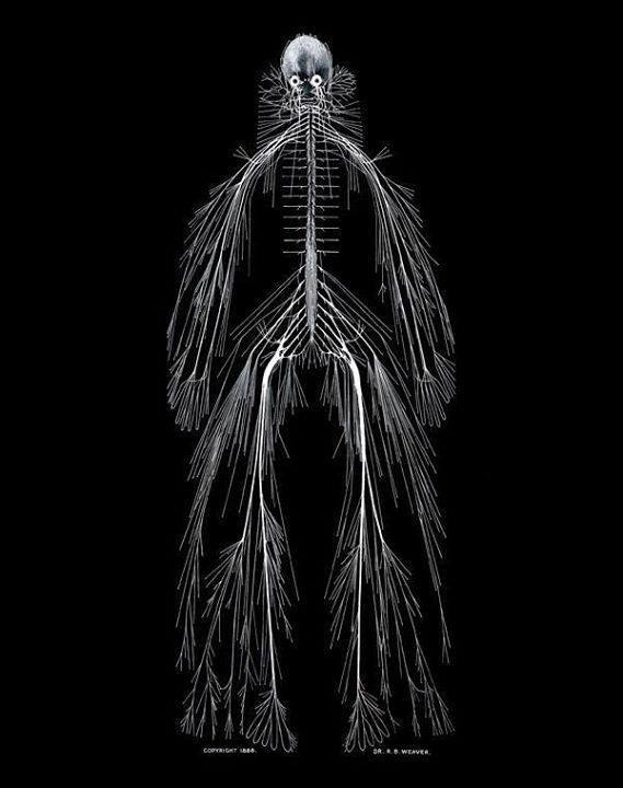 Remarkable photograph of the entire human nervous system  by Rufus Benjamin Weaver via @DrLindseyFitz https://t.co/tsMth4bQ9x