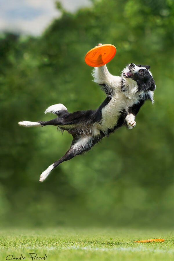 I believe I can fly!  Pic.Claudio Piccoli  #Collie #Dogsoftwitter https://t.co/uFScO4ThTM