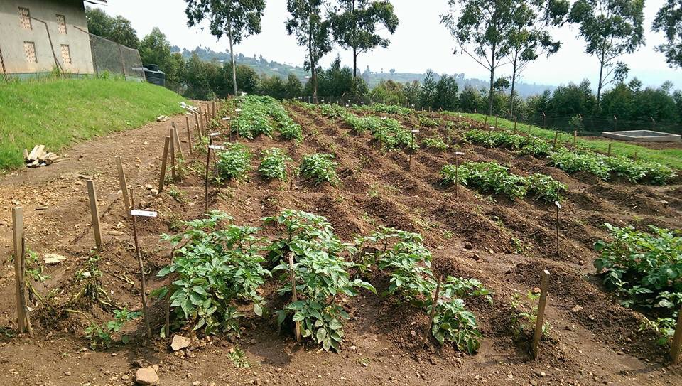 GMO potato in Uganda surviving blight while all conventional plants are dead. How can one deny this to farmers? https://t.co/YTnSjaHYsV