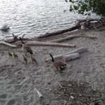 MARCH OF THE GOSLINGS: Canada Geese go to beach for evening swim. Swans with their cygnets in the water #PortCredit https://t.co/EDOpvLgHCg